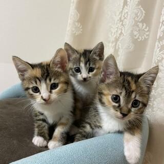 可愛い三毛猫の姉妹です