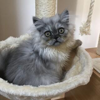 チンチラ子猫 3か月  まあるいお顔の優しい子