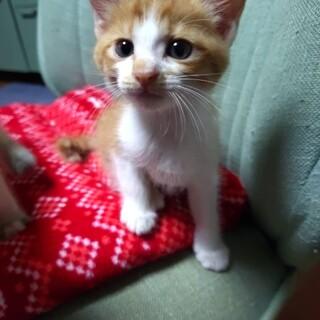 4兄弟茶トラのチャーくん生後2ヶ月 子猫