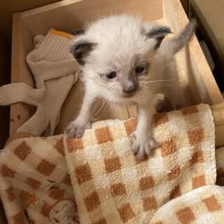 手のひらサイズの子猫の里親探し