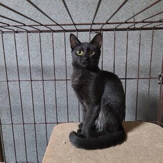【保護猫】黒猫 4ヶ月~ オス