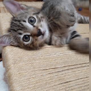 生後1か月半激可愛子猫1匹「クローバー」