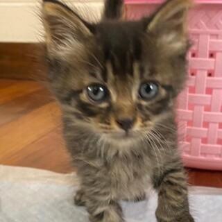 とっても可愛い赤ちゃん猫、中毛キジトラのロン君!