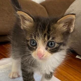 とっても可愛い赤ちゃん猫、キジ白のララ君!