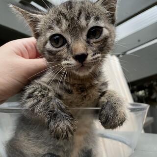 【子猫】2ヶ月位のキジトラ×サビ