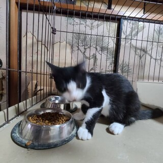 【保護猫】白黒靴下履いた猫 4ヶ月~