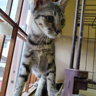 【保護猫】キジトラ子猫ちゃん 4ヶ月~メス♀
