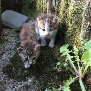 ※急募※近所で生まれた生後1ヶ月以内の子猫2匹