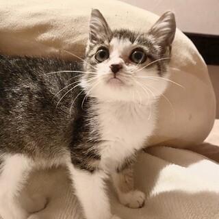 【2ヶ月子猫】クリクリお目目のヒロちゃん!