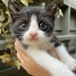 【子猫】かわいすぎのハチワレの子猫