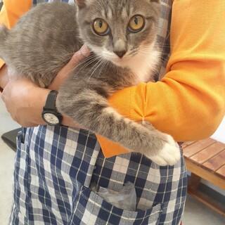 【保護猫】グレーっぽい白トラちゃん 3ヶ月 メス