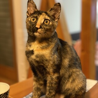 大阪ほご猫お見合い会参加猫一葉♀サビ