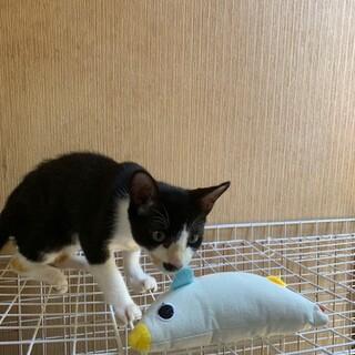 藤井寺ほご猫お見合い会参加猫ラオウ♂白黒