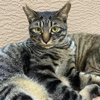 藤井寺ほご猫お見合い会参加猫くぅーちゃん♂