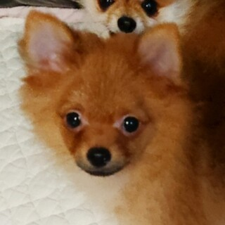 元気いっぱいピュナ子犬 ポメラニアンケン太くん