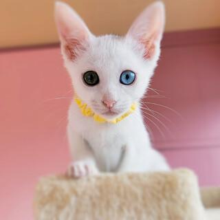 人も猫も大好き♡美しいオッドアイの白猫♡