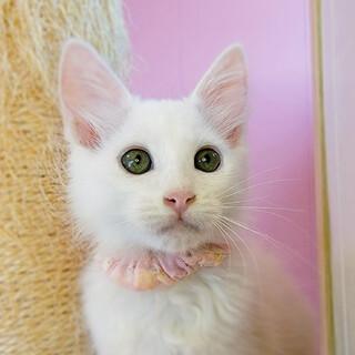 人も猫もお膝も大好き♡フワフワ長毛白猫♡