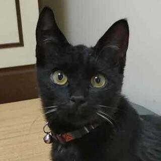 大人しく人慣れバツグン⭐️黒猫男子りん