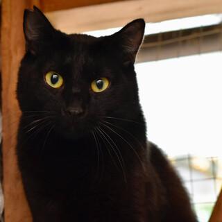 ゴージャスな黒猫のクロリン