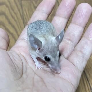 カイロトゲマウス・ベビー9月13日生(性別未明)