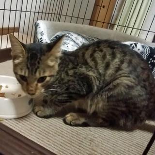 人懐っこい迷い子猫 生後5ヶ月 10月15日保護