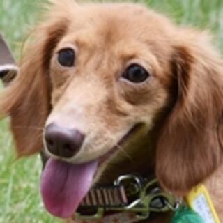 保護犬ナンバーD1520 M・ダックスフンド