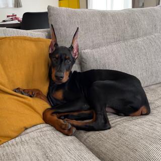 ドーベルマン4ヶ月子犬