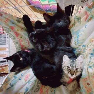 可愛い仲良しの4姉妹キジトラと黒子猫達