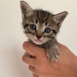生後約3週のかわいい子猫「じゅげむ」