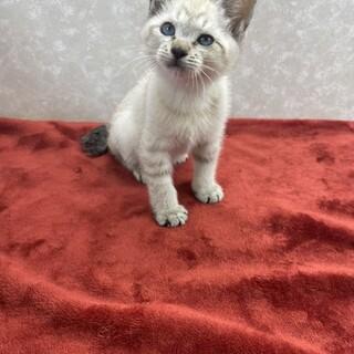 ブルーアイは幸運を運ぶ猫❗️私を飼いなさいルーン