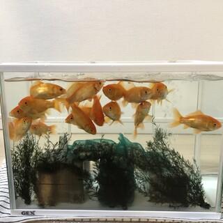 金魚達の里親さんになって下さる方を探しています。