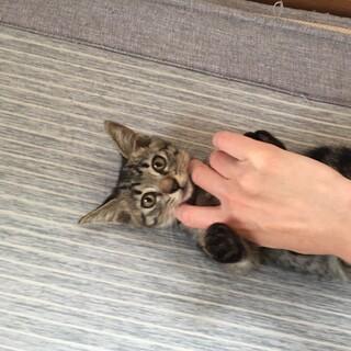 おとなしいキジトラちゃん