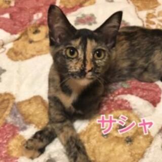生後半年 子猫 サビ猫 女の子 ★サシャちゃん★