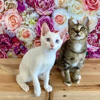 【10/31芝浦】スリゴロ白猫&キジトラペア
