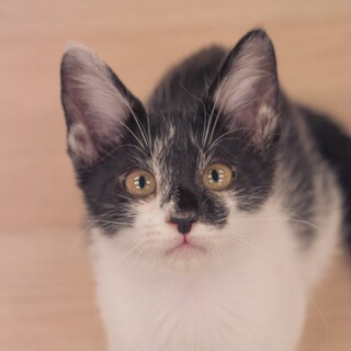 人の上に乗ってくるマイペースな黒白猫【凪(なぎ)】