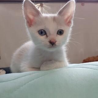 フワフワのシャム系子猫☆1カ月半