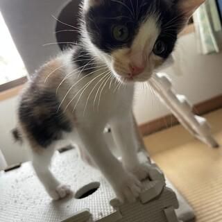 甘えん坊のハチワレ三毛猫ミーちゃん2ヶ月女の子