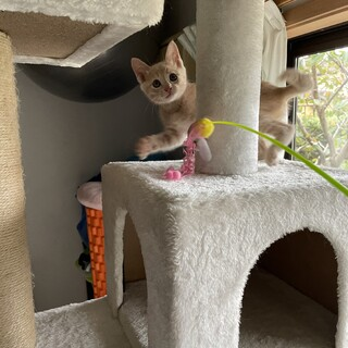 ミルクティ色のキジ子猫 ミルくん2ヶ月美男子