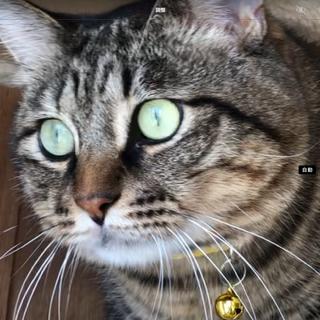 メス猫にモテモテ、大きな猫のエフタくん