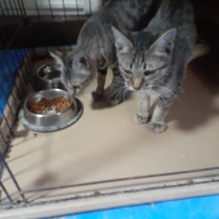【保護猫】キジトラ♀4ヶ月