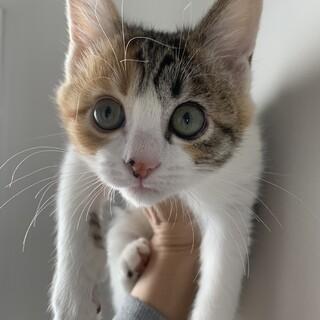 可愛い三毛猫もうすぐ4ヶ月