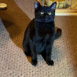 魅力たっぷり、黒猫お坊ちゃん