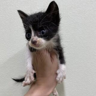 元気なハチワレの八海と黒猫のごま 1.5ヶ月