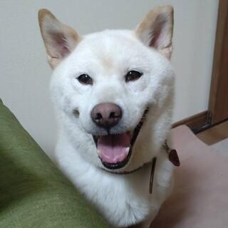 柴犬 チイちゃん