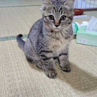 キジトラ☆子猫3ヶ月☆オス