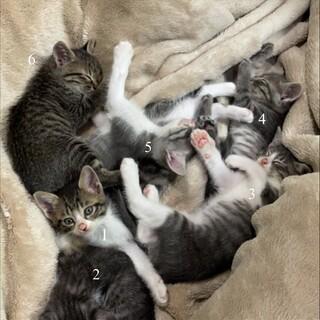 生後二ヶ月の猫(六匹)